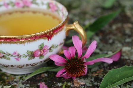 фото эхиноцея цветок